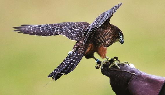 How to... Become a Master of Falconry